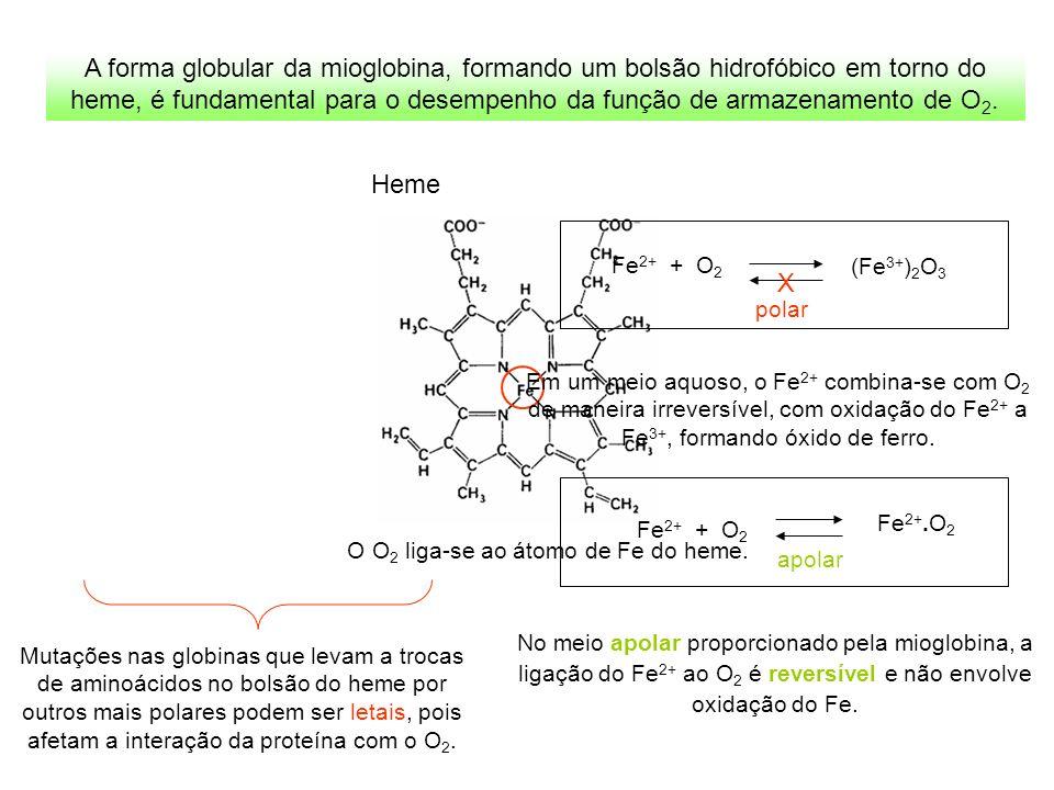 A forma globular da mioglobina, formando um bolsão hidrofóbico em torno do heme, é fundamental para o desempenho da função de armazenamento de O 2. He