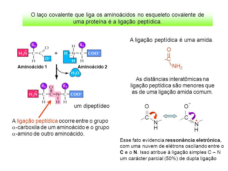 A ligação peptídica ocorre entre o grupo -carboxila de um aminoácido e o grupo -amino de outro aminoácido. um dipeptídeo Aminoácido 1 Aminoácido 2 O l