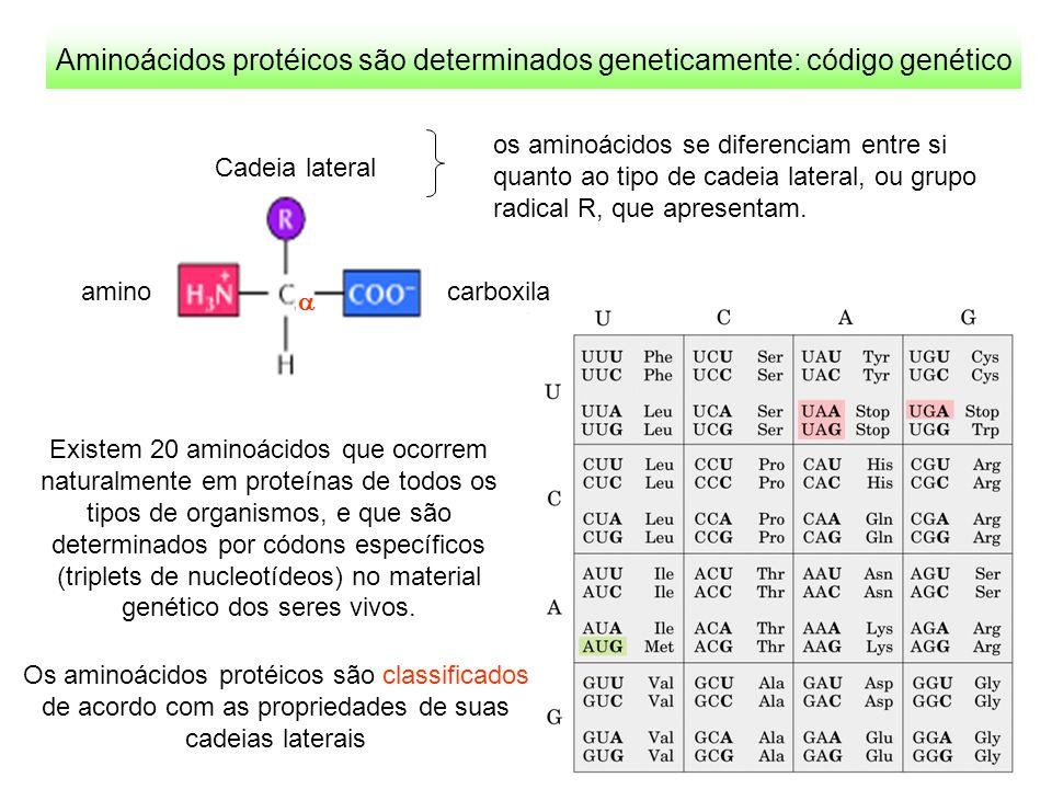Os 20 aminoácidos proteícos Aminoácidos básicos Lisina (Lys – K) Arginina (Arg – R) Histidina (His – H) Aminoácidos ácidos Ácido Aspártico (Asp – D) Ácido Glutâmico (Glu – E) Asparagina (Asn – N) Glutamina (Gln – Q) Serina (Ser – S) Treonina (Thr – T) Aminoácidos polares neutros Aminoácidos hidrofóbicos - apolares Alanina (Ala – A) Valina (Val – V) Isoleucina (Ile – I) Leucina (Leu – L) Metionina (Met – M) Fenilalanina (Phe – F) Tirosina (Tyr – Y) Triptofano (Trp – W) Aminoácidos especiais Cisteína (Cys – C) Glicina (Gly – G) Prolina (Pro – P)
