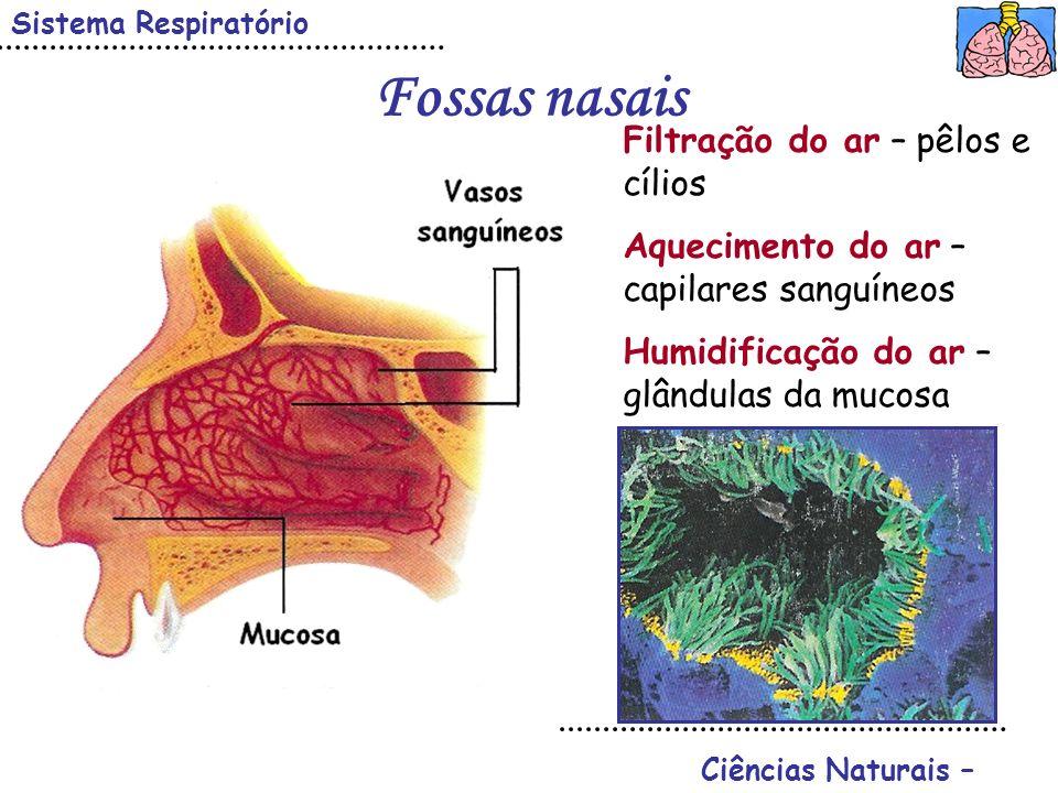 Fossas nasais Sistema Respiratório Ciências Naturais – Filtração do ar – pêlos e cílios Aquecimento do ar – capilares sanguíneos Humidificação do ar –