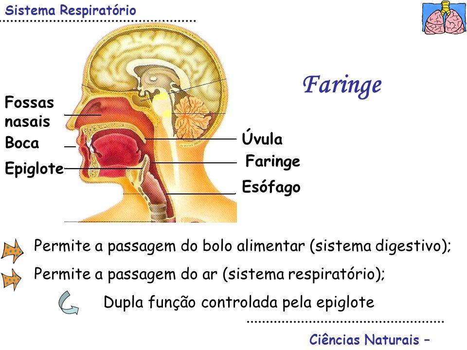 Ciências Naturais – Sistema Respiratório Faringe Úvula Faringe Epiglote Boca Fossas nasais Esófago Permite a passagem do bolo alimentar (sistema diges