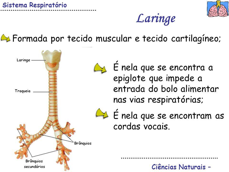 Ciências Naturais – Sistema Respiratório Laringe É nela que se encontra a epiglote que impede a entrada do bolo alimentar nas vias respiratórias; É ne