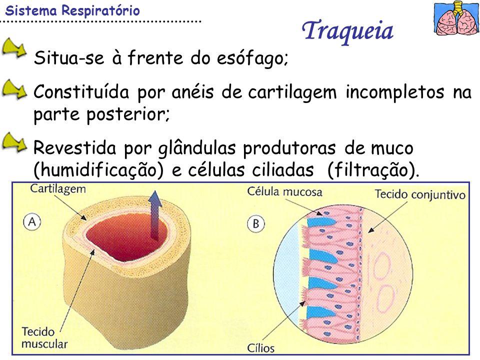 Ciências Naturais – 8º ano Sistema Respiratório Traqueia Situa-se à frente do esófago; Constituída por anéis de cartilagem incompletos na parte poster