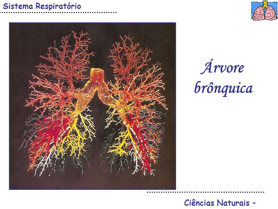 Sistema Respiratório Ciências Naturais – Árvore brônquica