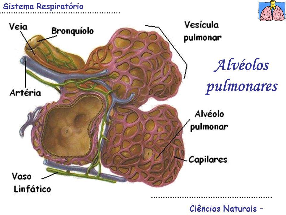 Ciências Naturais – Sistema Respiratório Alvéolos pulmonares