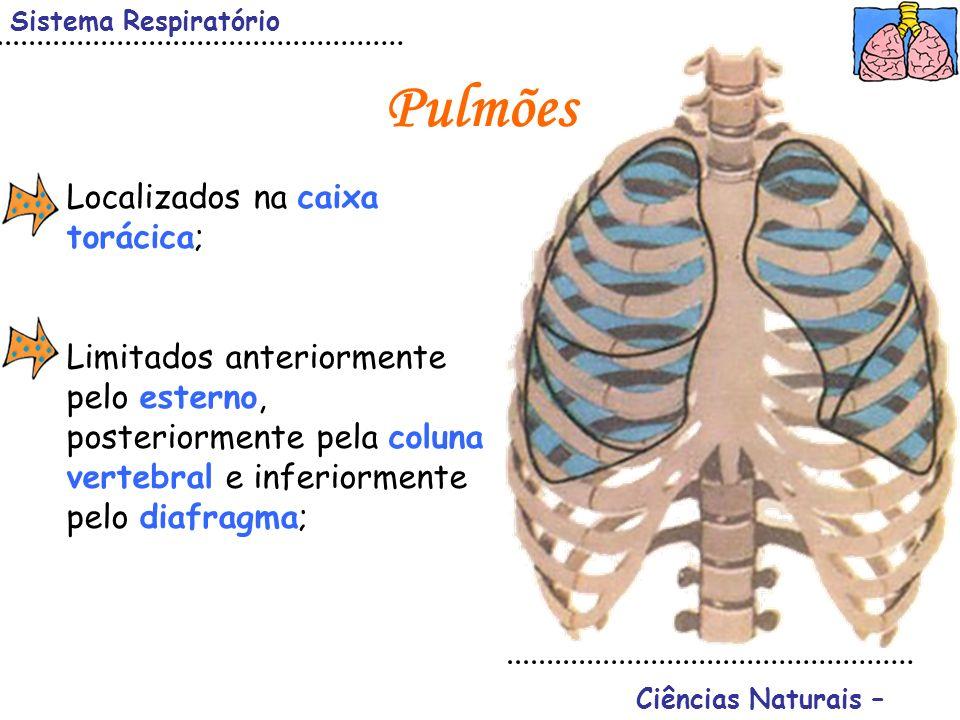Sistema Respiratório Ciências Naturais – Pulmões Localizados na caixa torácica; Limitados anteriormente pelo esterno, posteriormente pela coluna verte