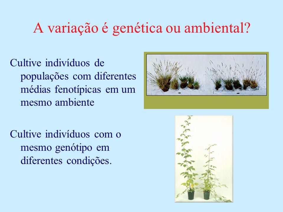 A variação é genética ou ambiental? Cultive indivíduos de populações com diferentes médias fenotípicas em um mesmo ambiente Cultive indivíduos com o m
