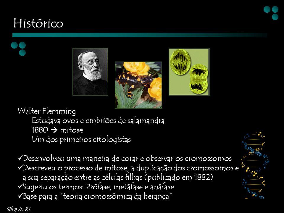 Silva Jr, RL Walter Flemming Estudava ovos e embriões de salamandra 1880 mitose Um dos primeiros citologistas Desenvolveu uma maneira de corar e observar os cromossomos Descreveu o processo de mitose, a duplicação dos cromossomos e a sua separação entre as células filhas (publicado em 1882) Sugeriu os termos: Prófase, metáfase e anáfase Base para a teoria cromossômica da herança Histórico