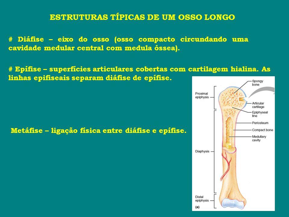 ESTRUTURAS TÍPICAS DE UM OSSO LONGO # Diáfise – eixo do osso (osso compacto circundando uma cavidade medular central com medula óssea). # Epífise – su