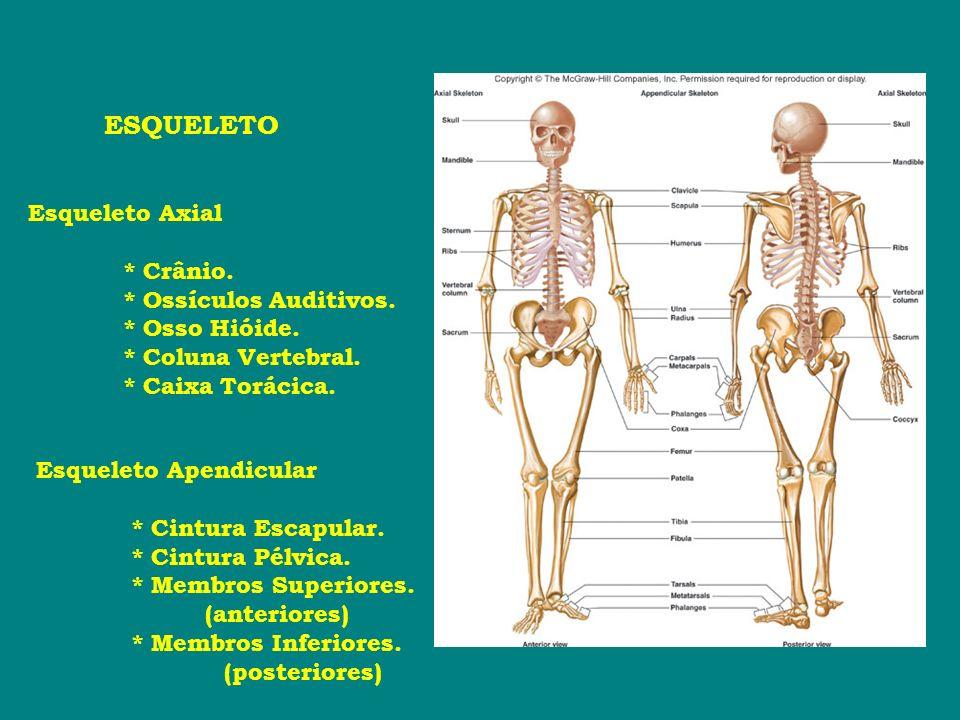 ESQUELETO Esqueleto Axial * Crânio. * Ossículos Auditivos. * Osso Hióide. * Coluna Vertebral. * Caixa Torácica. Esqueleto Apendicular * Cintura Escapu