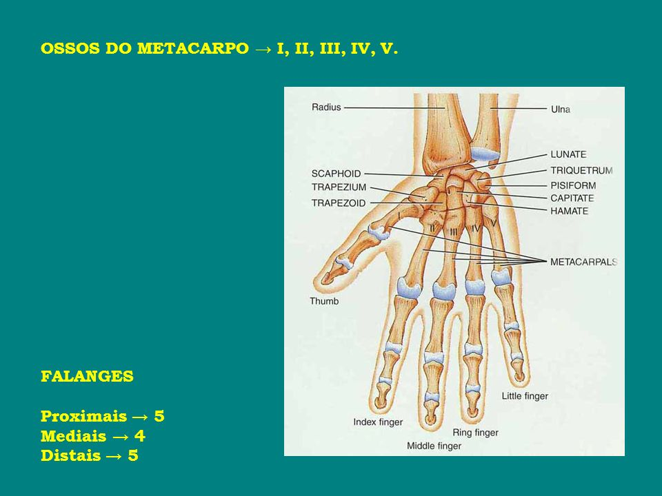 OSSOS DO METACARPO I, II, III, IV, V. FALANGES Proximais 5 Mediais 4 Distais 5