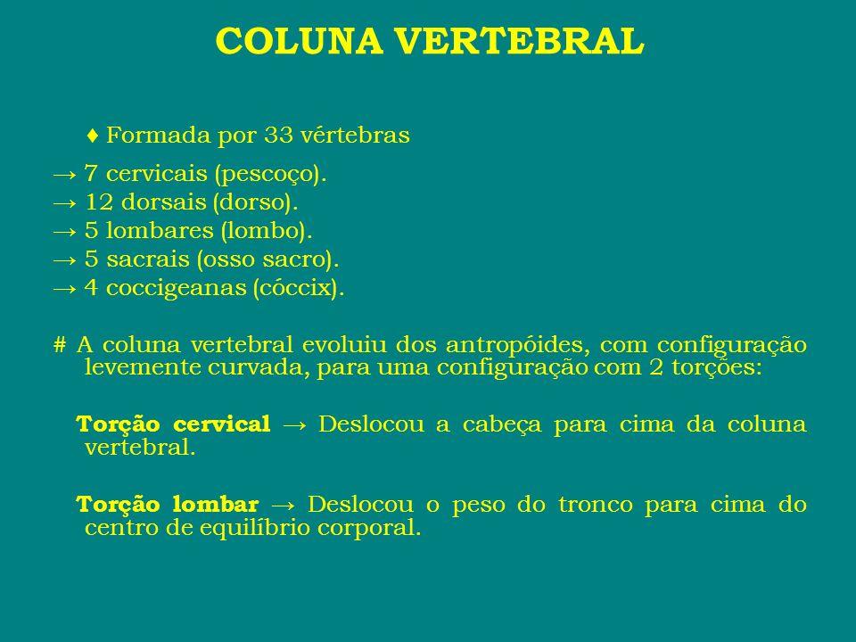 COLUNA VERTEBRAL Formada por 33 vértebras 7 cervicais (pescoço). 12 dorsais (dorso). 5 lombares (lombo). 5 sacrais (osso sacro). 4 coccigeanas (cóccix