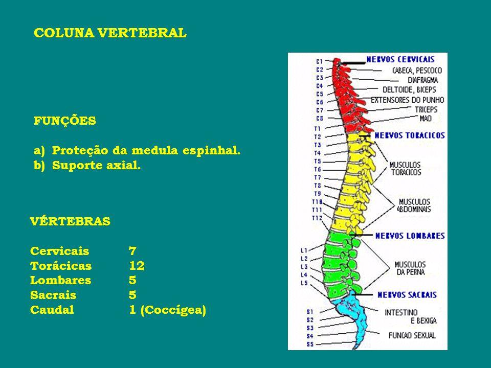 COLUNA VERTEBRAL VÉRTEBRAS Cervicais7 Torácicas12 Lombares5 Sacrais5 Caudal1 (Coccígea) FUNÇÕES a)Proteção da medula espinhal. b)Suporte axial.