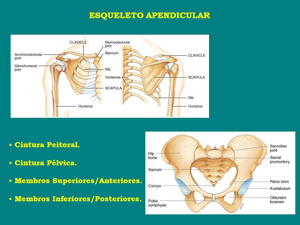 ESQUELETO APENDICULAR Cintura Peitoral. Cintura Pélvica. Membros Superiores/Anteriores. Membros Inferiores/Posteriores.