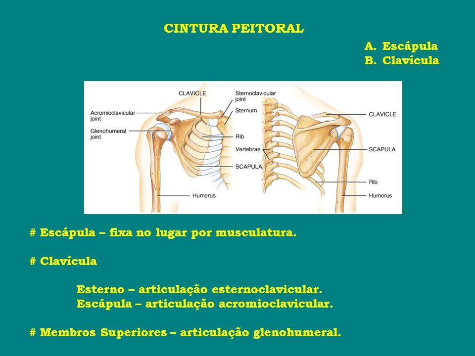 CINTURA PEITORAL A.Escápula B.Clavícula # Escápula – fixa no lugar por musculatura. # Clavícula Esterno – articulação esternoclavicular. Escápula – ar