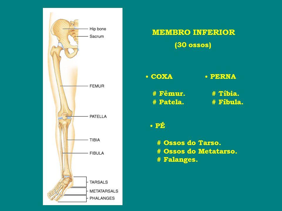 MEMBRO INFERIOR (30 ossos) COXA # Fêmur. # Patela. PERNA # Tíbia. # Fíbula. PÉ # Ossos do Tarso. # Ossos do Metatarso. # Falanges.