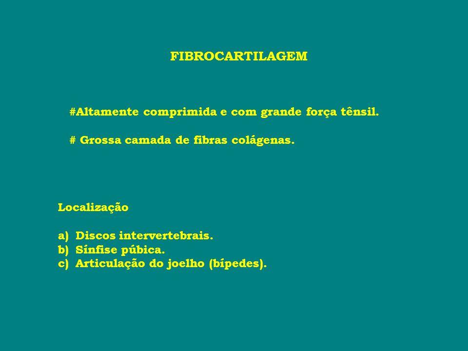 FIBROCARTILAGEM #Altamente comprimida e com grande força tênsil. # Grossa camada de fibras colágenas. Localização a)Discos intervertebrais. b)Sínfise