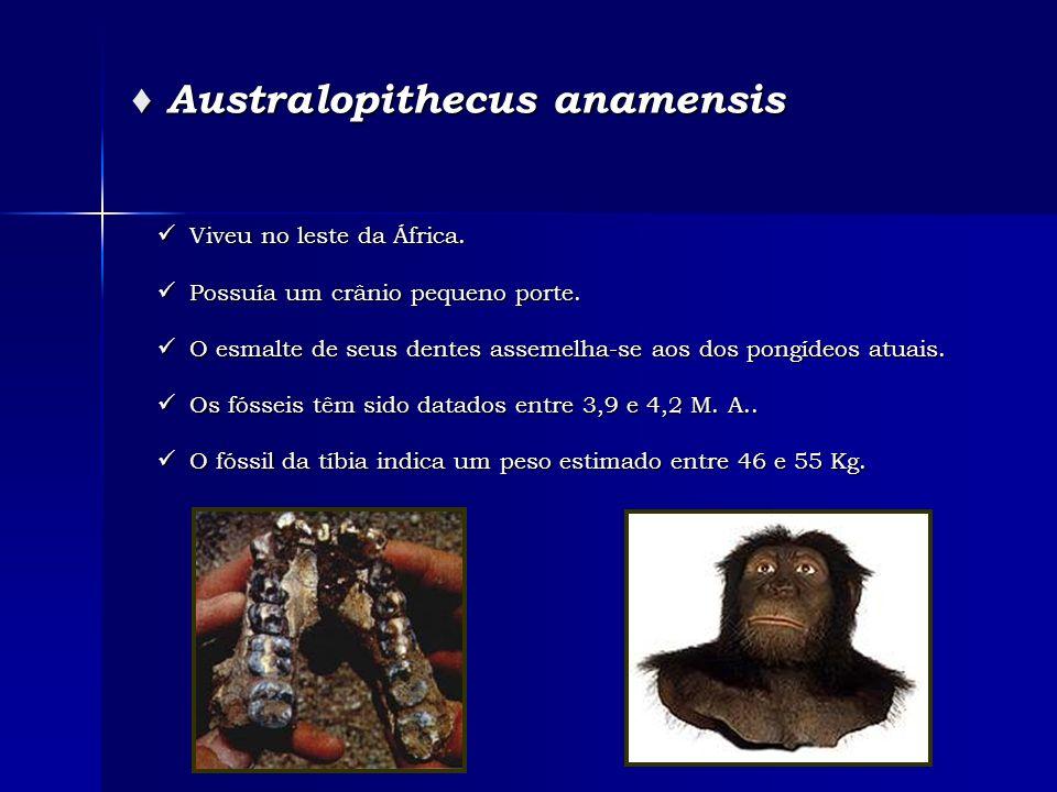 Australopithecus anamensis Australopithecus anamensis Viveu no leste da África. Viveu no leste da África. Possuía um crânio pequeno porte. Possuía um