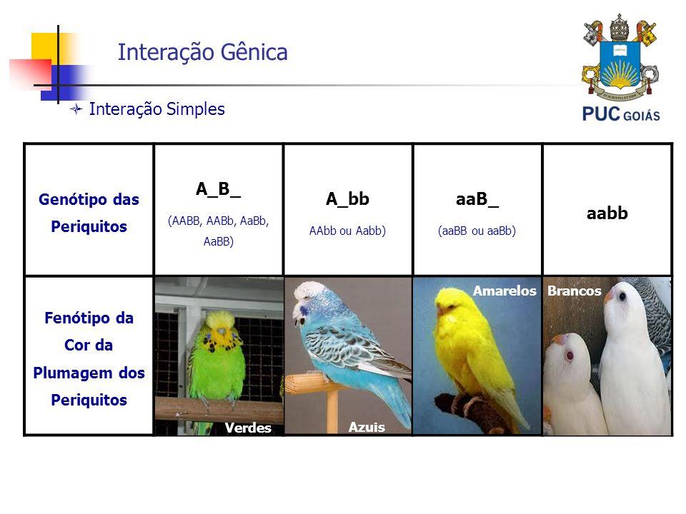 Interação Gênica Genótipo das Periquitos A_B_ (AABB, AABb, AaBb, AaBB) A_bb AAbb ou Aabb) aaB_ (aaBB ou aaBb) aabb Fenótipo da Cor da Plumagem dos Per