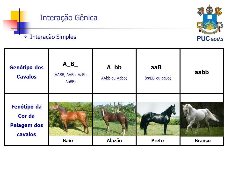 Interação Gênica Genótipo dos Cavalos A_B_ (AABB, AABb, AaBb, AaBB) A_bb AAbb ou Aabb) aaB_ (aaBB ou aaBb) aabb Fenótipo da Cor da Pelagem dos cavalos