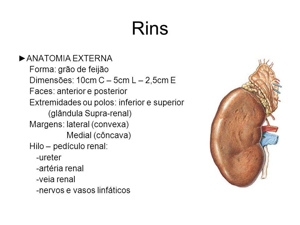 Rins ANATOMIA EXTERNA Forma: grão de feijão Dimensões: 10cm C – 5cm L – 2,5cm E Faces: anterior e posterior Extremidades ou polos: inferior e superior (glândula Supra-renal) Margens: lateral (convexa) Medial (côncava) Hilo – pedículo renal: -ureter -artéria renal -veia renal -nervos e vasos linfáticos