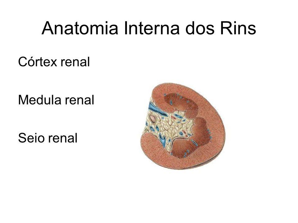Anatomia Interna dos Rins Córtex renal Medula renal Seio renal
