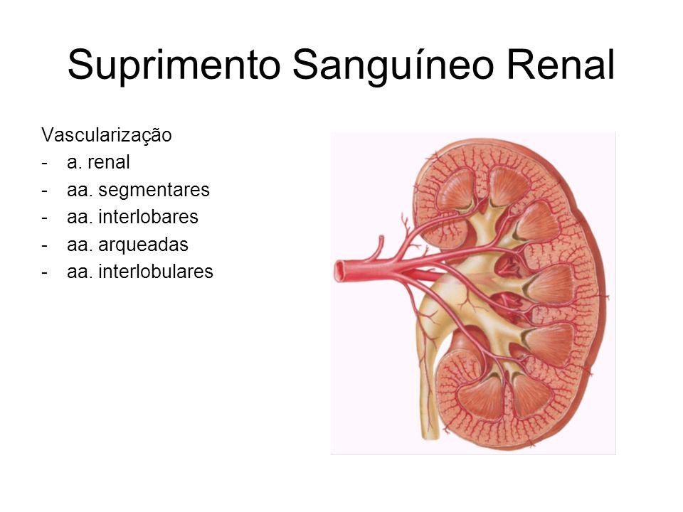 Suprimento Sanguíneo Renal Vascularização -a.renal -aa.