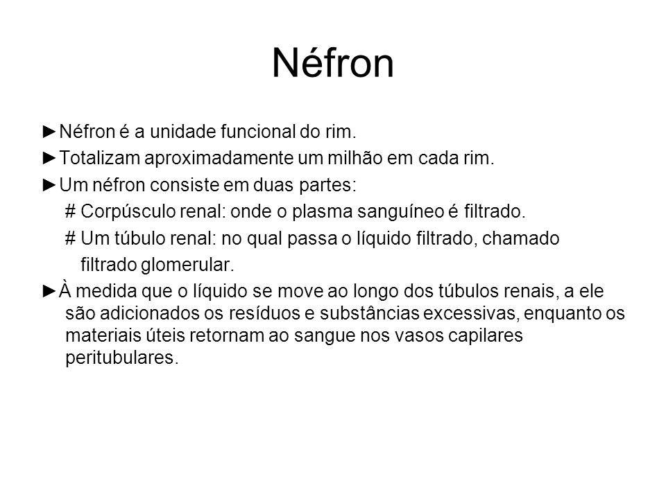 Néfron Néfron é a unidade funcional do rim.Totalizam aproximadamente um milhão em cada rim.
