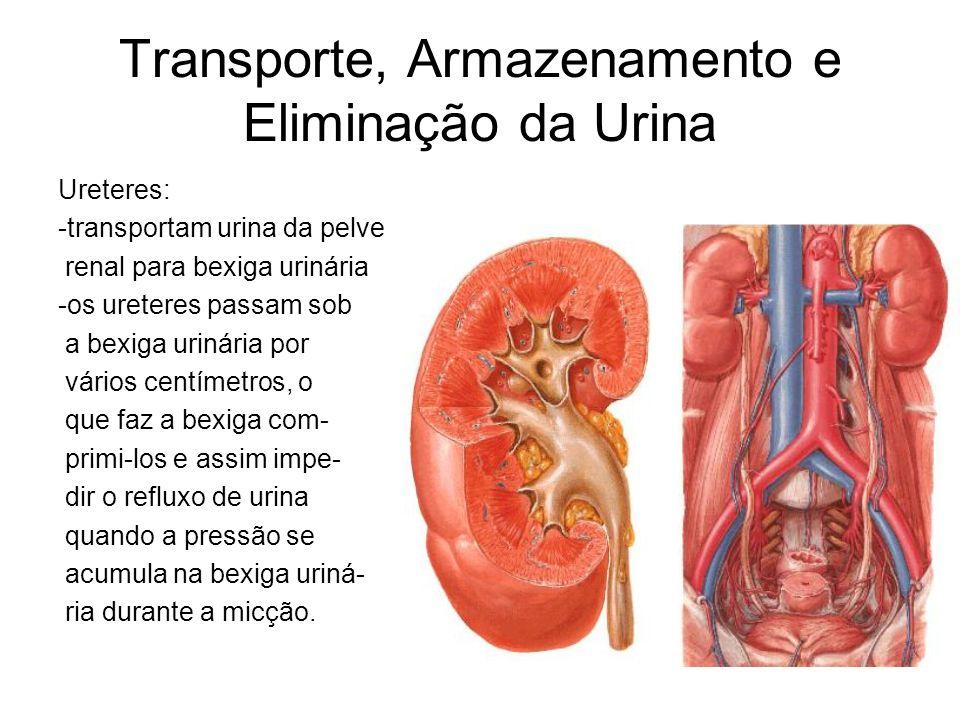 Transporte, Armazenamento e Eliminação da Urina Ureteres: -transportam urina da pelve renal para bexiga urinária -os ureteres passam sob a bexiga urinária por vários centímetros, o que faz a bexiga com- primi-los e assim impe- dir o refluxo de urina quando a pressão se acumula na bexiga uriná- ria durante a micção.