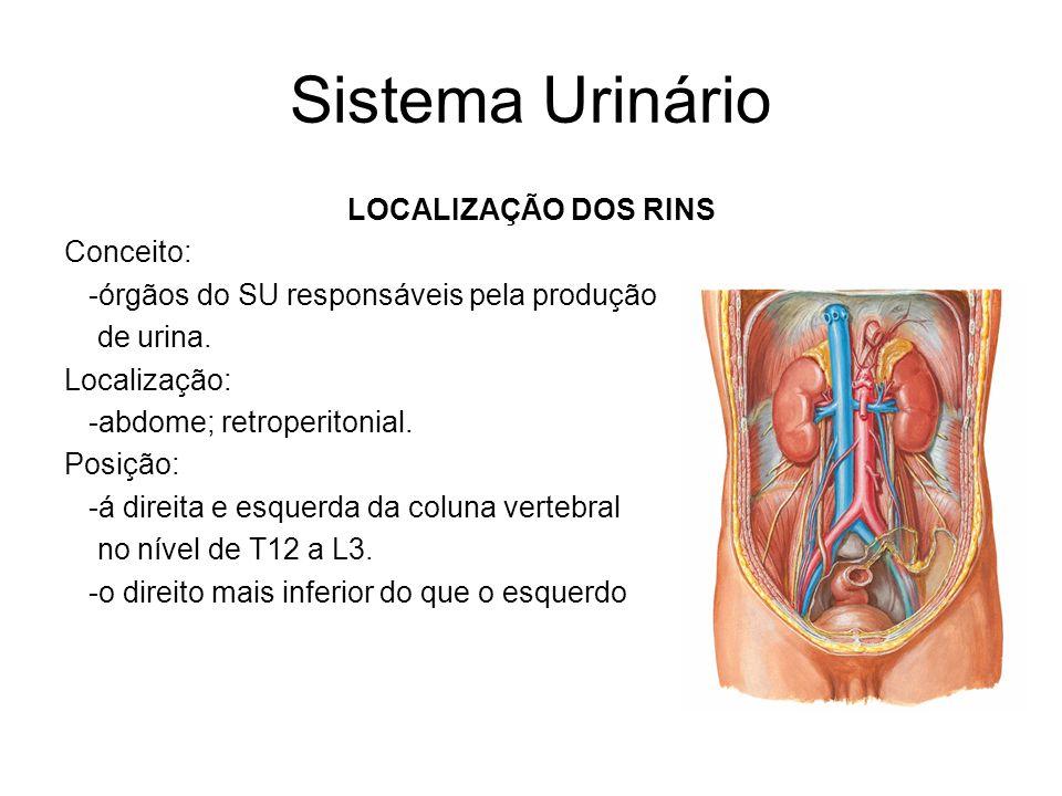Sistema Urinário LOCALIZAÇÃO DOS RINS Conceito: -órgãos do SU responsáveis pela produção de urina.