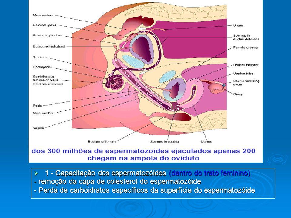 1 - Capacitação dos espermatozóides (dentro do trato feminino) 1 - Capacitação dos espermatozóides (dentro do trato feminino) - remoção da capa de col