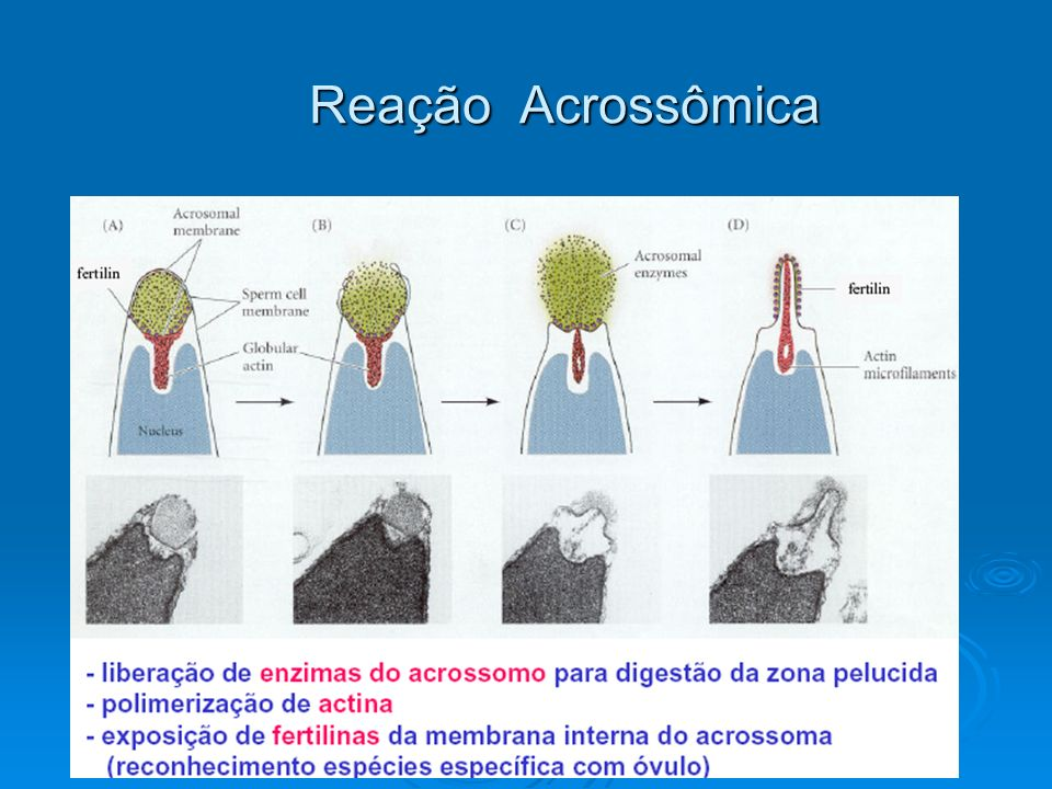 Células foliculares Fusão dos núcleos Grânulos Zigoto Zona pelúcida Vagina Fecundação Útero Ovulação Ovário Cervix Trompa de falópio Fecundação