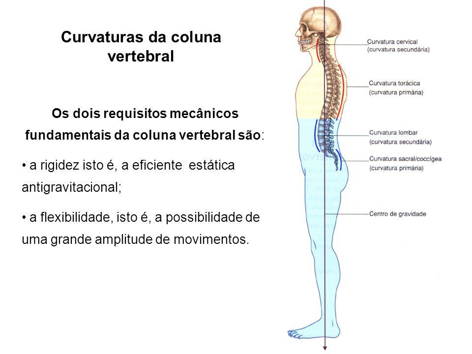Curvaturas da coluna vertebral Os dois requisitos mecânicos fundamentais da coluna vertebral são: a rigidez isto é, a eficiente estática antigravitaci