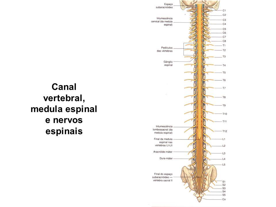 Canal vertebral, medula espinal e nervos espinais