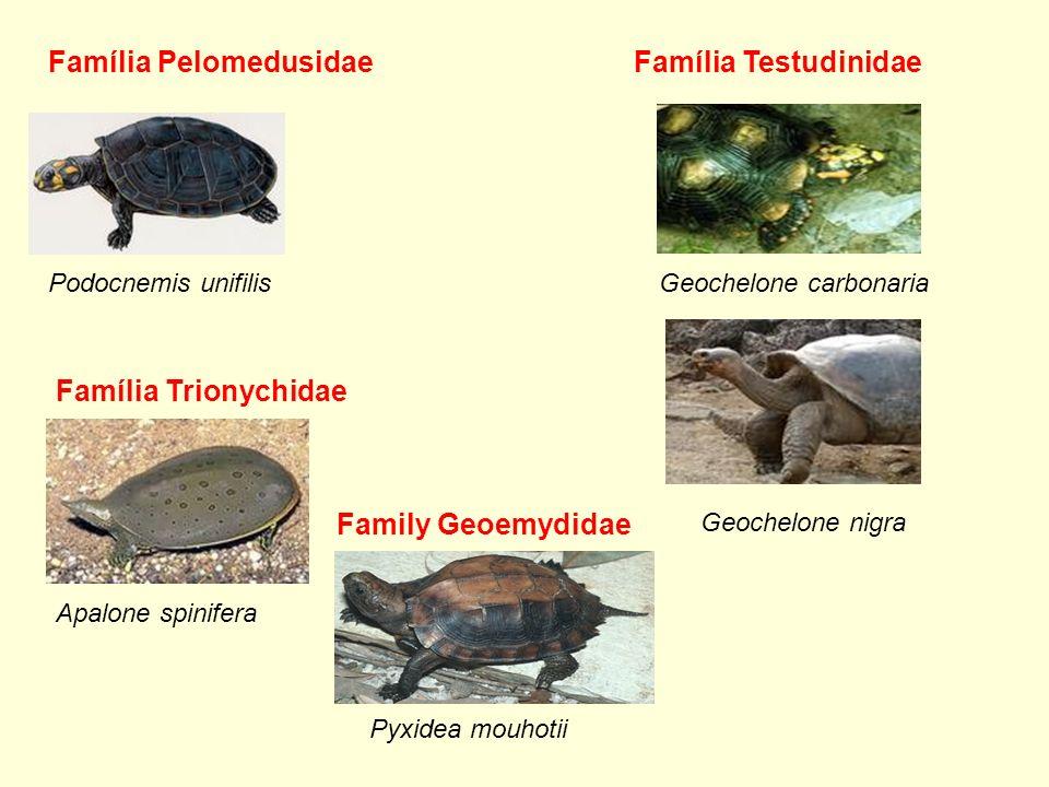 Família Pelomedusidae Podocnemis unifilisGeochelone carbonaria Família Testudinidae Família Trionychidae Apalone spinifera Geochelone nigra Family Geo