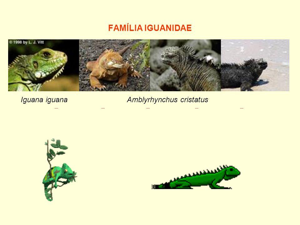 FAMÍLIA IGUANIDAE Amblyrhynchus cristatusIguana iguana
