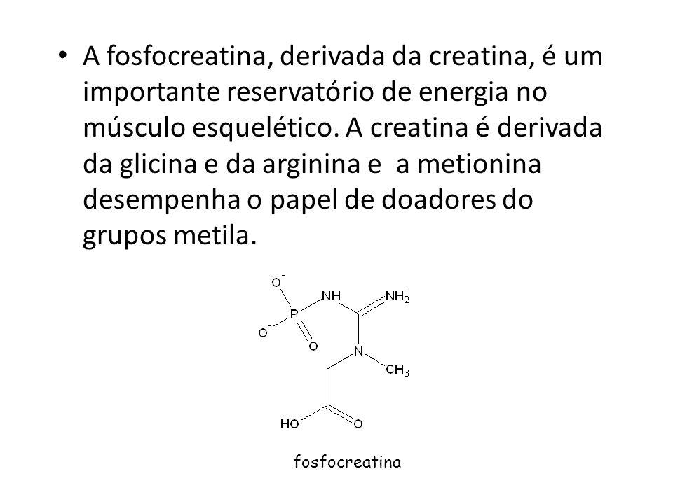 A fosfocreatina, derivada da creatina, é um importante reservatório de energia no músculo esquelético. A creatina é derivada da glicina e da arginina