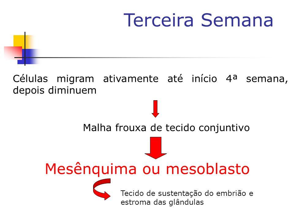 Terceira Semana Células migram ativamente até início 4ª semana, depois diminuem Malha frouxa de tecido conjuntivo Mesênquima ou mesoblasto Tecido de s