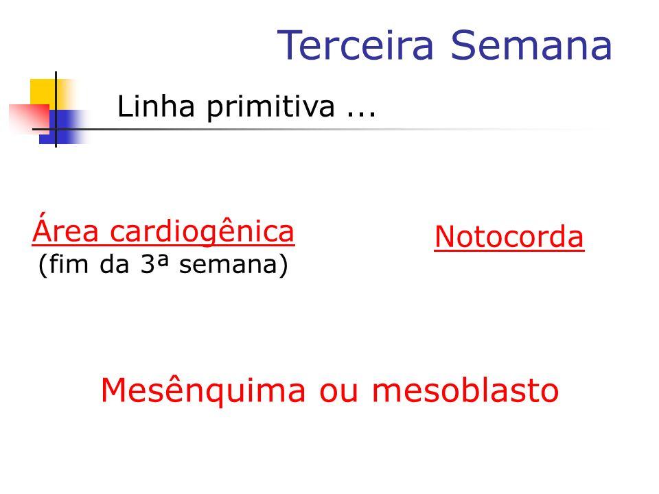 Terceira Semana Linha primitiva... Área cardiogênica (fim da 3ª semana) Notocorda Mesênquima ou mesoblasto