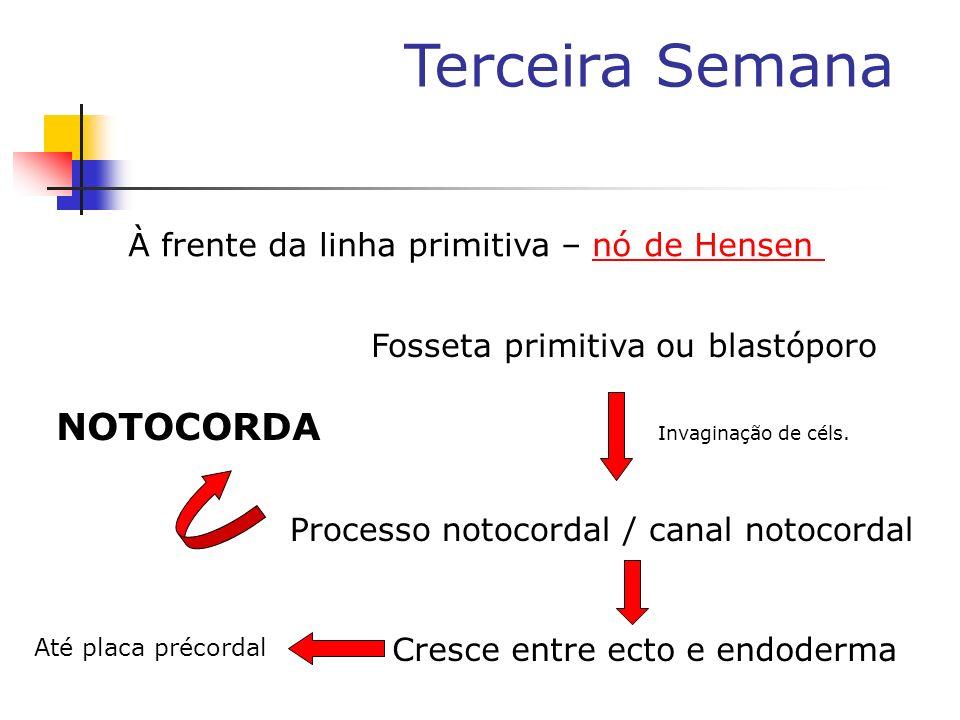 À frente da linha primitiva – nó de Hensennó de Hensen Fosseta primitiva ou blastóporo Cresce entre ecto e endoderma Até placa précordal Processo noto