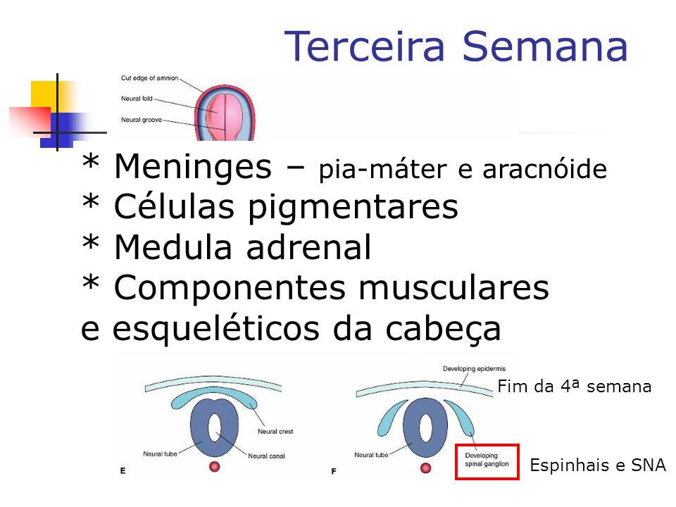 Terceira Semana Fim da 4ª semana Espinhais e SNA * Meninges – pia-máter e aracnóide * Células pigmentares * Medula adrenal * Componentes musculares e