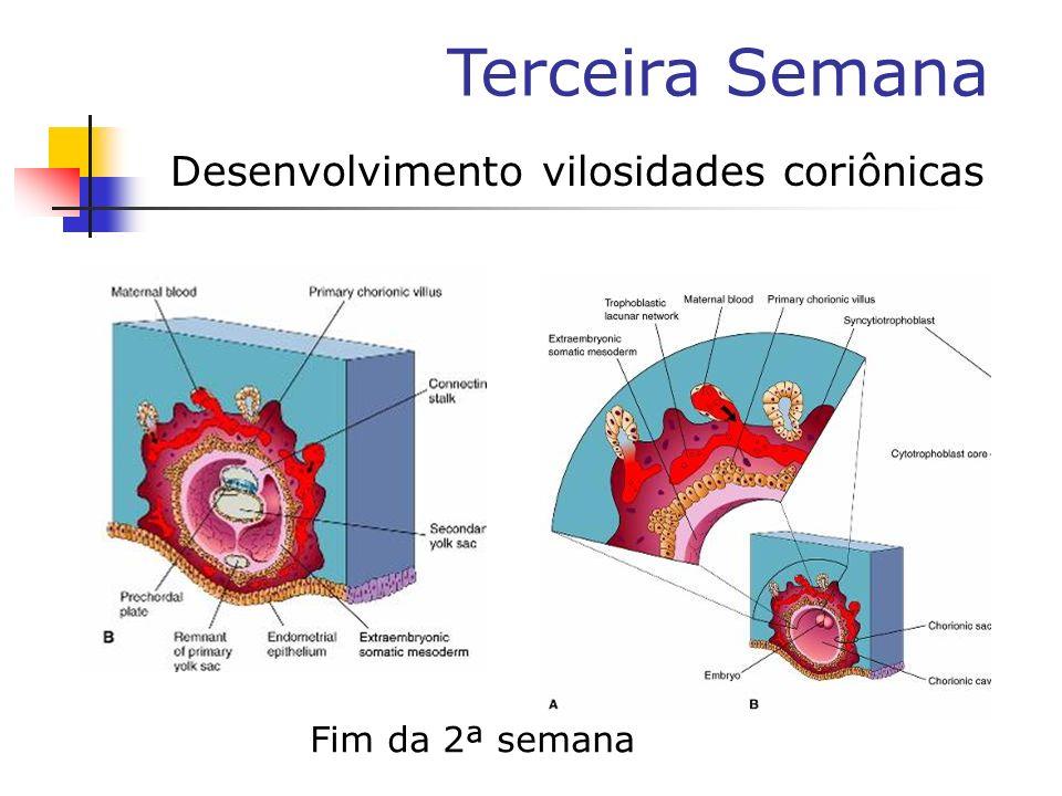 Terceira Semana Desenvolvimento vilosidades coriônicas Fim da 2ª semana
