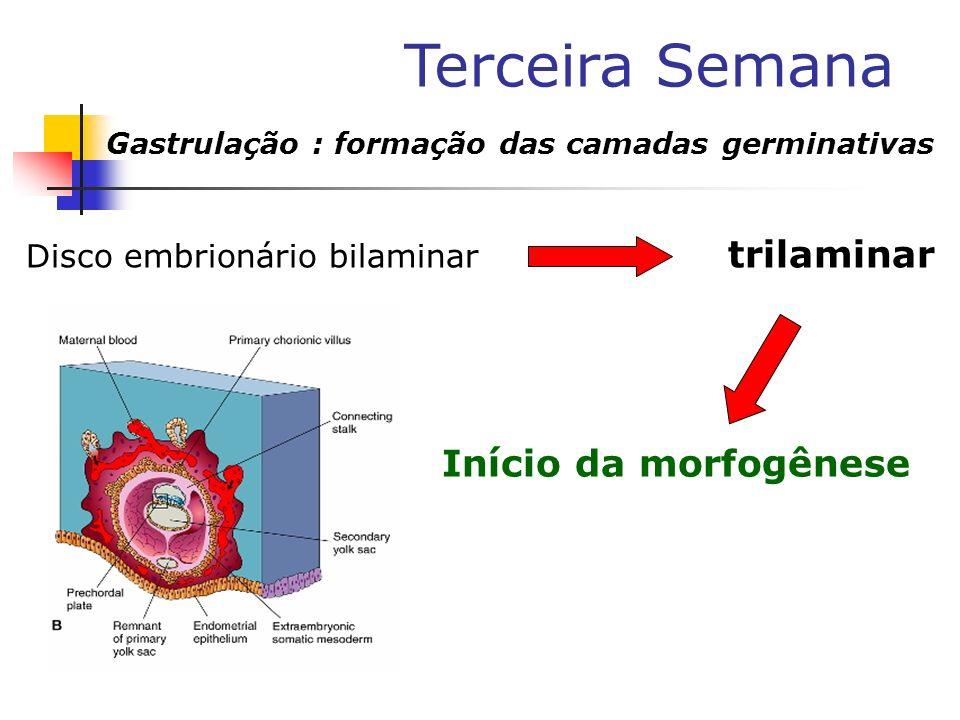 Terceira Semana Gastrulação : formação das camadas germinativas Disco embrionário bilaminar trilaminar Início da morfogênese