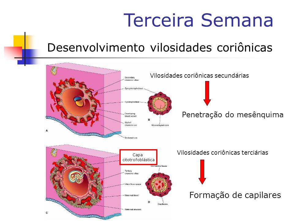 Terceira Semana Desenvolvimento vilosidades coriônicas Vilosidades coriônicas secundárias Vilosidades coriônicas terciárias Capa citotrofoblástica For