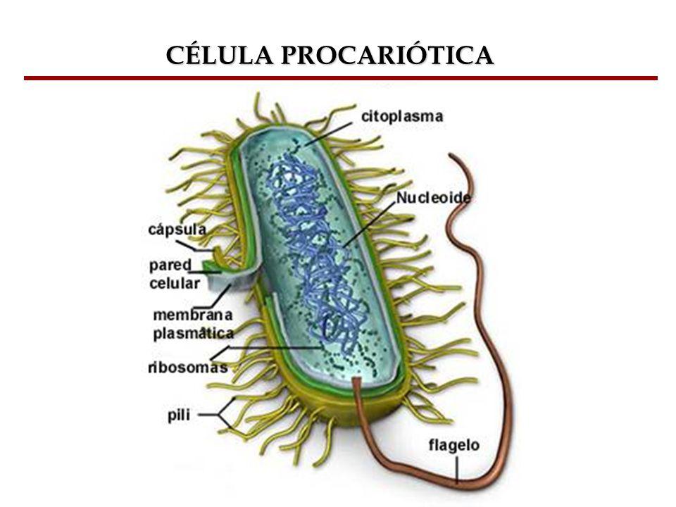 Bioquímica Celular – Prof. Júnior CÉLULA PROCARIÓTICA