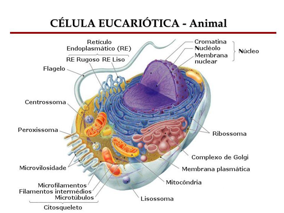 Bioquímica Celular – Prof. Júnior CÉLULA EUCARIÓTICA - Animal