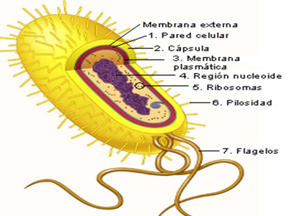 Bacteriófagos Não possuem uma maquinaria própria (incapazes de se multiplicarem na ausência de um hospedeiro).