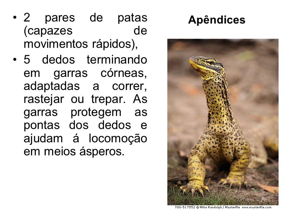Apêndices 2 pares de patas (capazes de movimentos rápidos), 5 dedos terminando em garras córneas, adaptadas a correr, rastejar ou trepar.