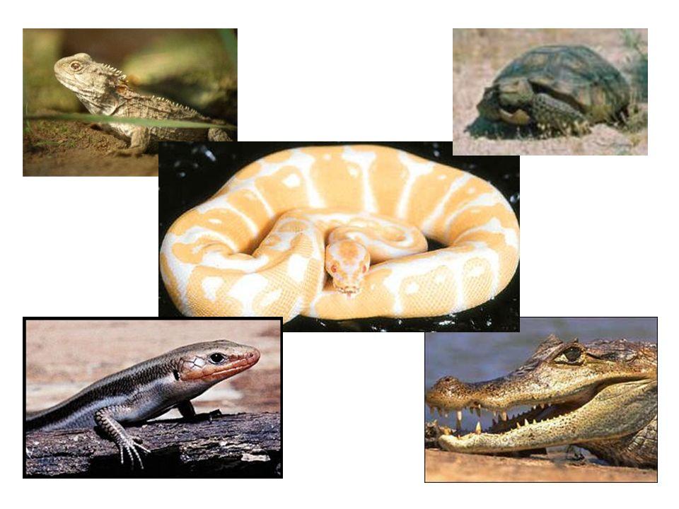 Sub-ordem Cryptodira Os Cryptodirianos podem, por meio de uma curva na coluna vertebral, no pescoço, colocar diretamente e em um só movimento, a cabeça dentro do casco.