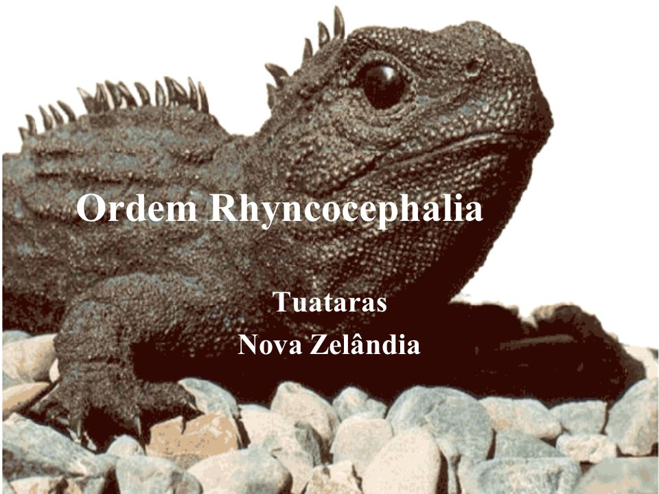 Ordem Rhyncocephalia Tuataras Nova Zelândia